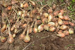 家庭菜園・タマネギの収穫の写真素材 [FYI01198025]