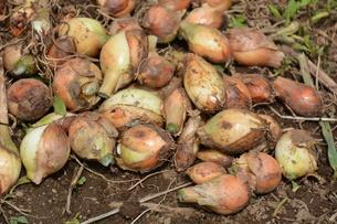家庭菜園・タマネギの収穫の写真素材 [FYI01198026]