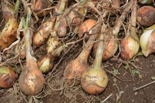 家庭菜園・タマネギの収穫の写真素材 [FYI01198027]