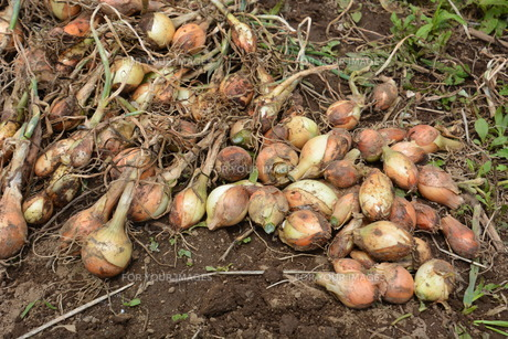 家庭菜園・タマネギの収穫の写真素材 [FYI01198028]