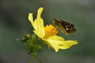 秋の花 コスモス(秋桜)の写真素材 [FYI01198054]