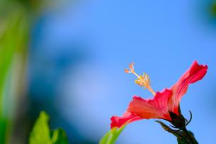沖縄のハイビスカスの写真素材 [FYI01198093]