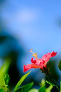 沖縄のハイビスカスの写真素材 [FYI01198095]