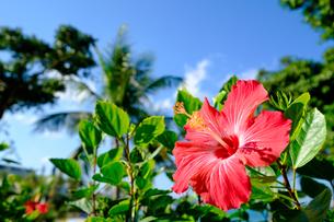 沖縄のハイビスカスの写真素材 [FYI01198096]