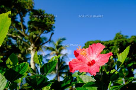 沖縄のハイビスカスの写真素材 [FYI01198099]
