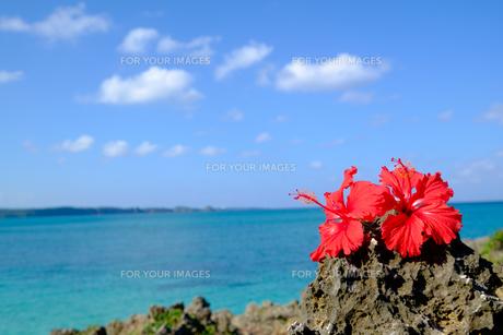 沖縄のハイビスカスの写真素材 [FYI01198100]
