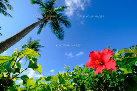 沖縄のハイビスカスの写真素材 [FYI01198102]