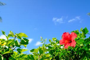 沖縄のハイビスカスの写真素材 [FYI01198103]