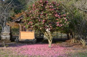 サザンカ(山茶花)・ 散りてなお 冬の彩り…の写真素材 [FYI01198151]