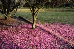 サザンカ(山茶花)・ 散りてなお 冬の彩り…の写真素材 [FYI01198153]