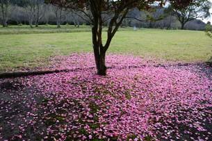 サザンカ(山茶花)・ 散りてなお 冬の彩り…の写真素材 [FYI01198154]