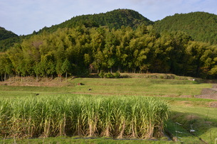 こんなところに!サトウキビ畑 ・ 九州福岡県朝倉市三奈木の写真素材 [FYI01198158]