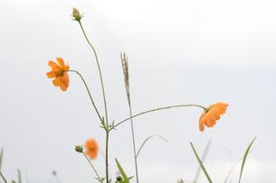 黄花コスモス ・ 秋雨に濡れてうるわし…の写真素材 [FYI01198167]