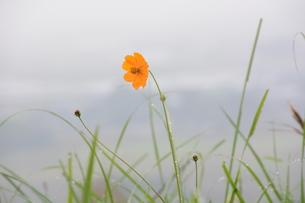 黄花コスモス ・ 秋雨に濡れてうるわし…の写真素材 [FYI01198170]