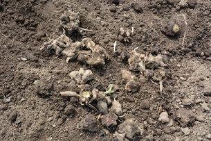 家庭菜園 ・ 健康野菜 ヤーコンの種イモ植え付けと発芽の写真素材 [FYI01198190]