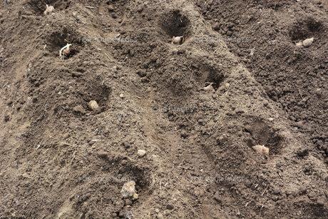 家庭菜園 ・ 健康野菜 ヤーコンの種イモ植え付けと発芽の写真素材 [FYI01198191]