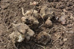 家庭菜園 ・ 健康野菜 ヤーコンの種イモ植え付けと発芽の写真素材 [FYI01198193]