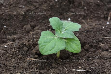 家庭菜園 ・ 健康野菜 ヤーコンの種イモ植え付けと発芽の写真素材 [FYI01198194]