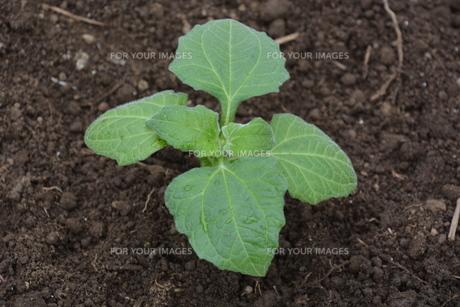 家庭菜園 ・ 健康野菜 ヤーコンの種イモ植え付けと発芽の写真素材 [FYI01198195]