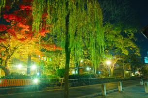紅葉シーズンの京都祇園白川の夜景の写真素材 [FYI01198230]