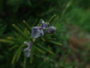 ローズマリーの花の写真素材 [FYI01198235]