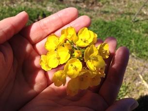 両手に菜の花の写真素材 [FYI01198256]