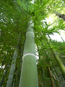竹林の写真素材 [FYI01198337]