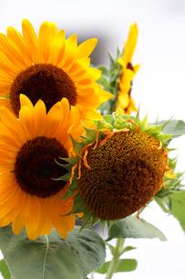 朝の穏やかな光の中に咲くひまわりの写真素材 [FYI01198392]