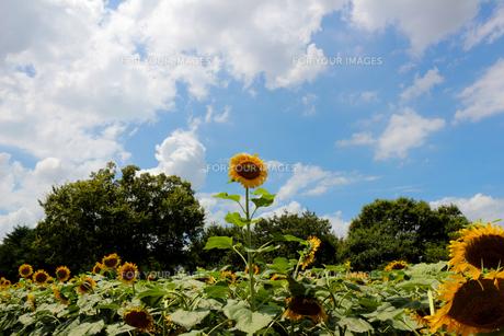 青空に向かって伸びる元気なひまわりの写真素材 [FYI01198411]