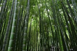 鎌倉の自然豊かな竹林の写真素材 [FYI01198476]
