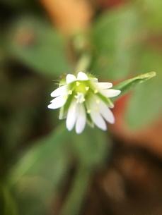 小さな野草の花 ハコベの写真素材 [FYI01198527]