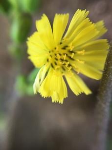小さな野草の花 ヤクシソウの写真素材 [FYI01198528]