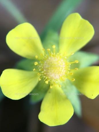 小さな野草の花 ヘビイチゴの写真素材 [FYI01198531]