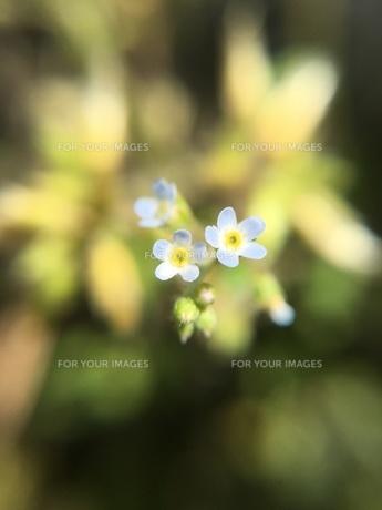 小さい野草の花 キュウリグサの写真素材 [FYI01198547]