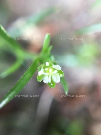 小さな野草の花 ツメクサの写真素材 [FYI01198549]