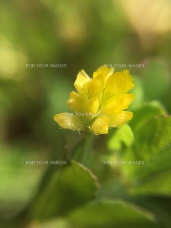 小さな野草の花 コメツブツメクサの写真素材 [FYI01198550]