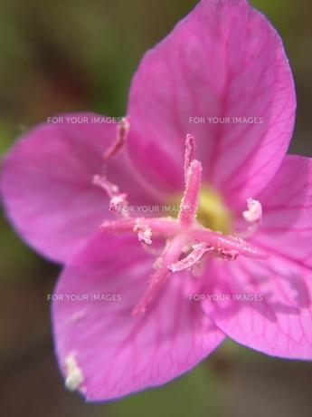 小さな野草の花 ユウゲショウの写真素材 [FYI01198552]