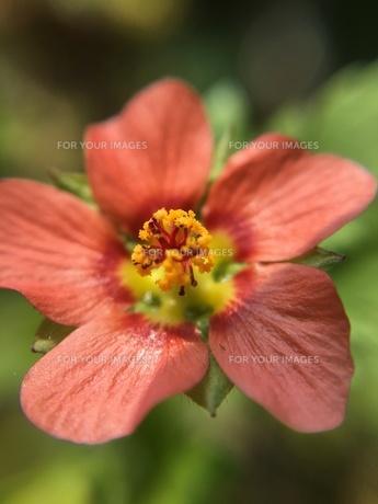 小さな野草の花の写真素材 [FYI01198553]