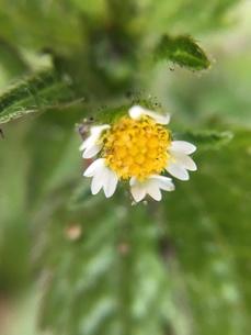 小さな野草の花 ハキダメギクの写真素材 [FYI01198554]