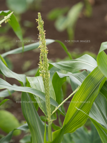 トウモロコシの花の写真素材 [FYI01198623]