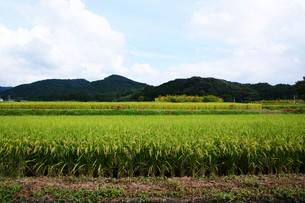 日本の風景 ・ 稲田 実りの秋の写真素材 [FYI01198764]