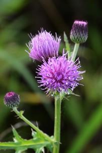 薊(アザミ)の花の写真素材 [FYI01198815]