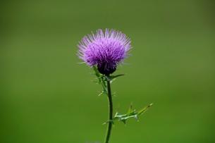 薊(アザミ)の花の写真素材 [FYI01198816]