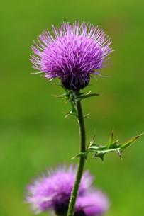 薊(アザミ)の花の写真素材 [FYI01198817]
