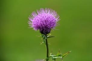 薊(アザミ)の花の写真素材 [FYI01198818]