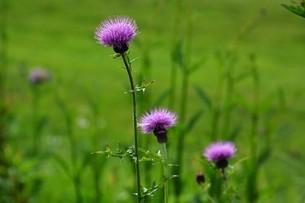 薊(アザミ)の花の写真素材 [FYI01198819]