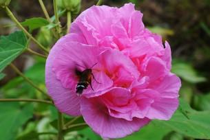 スイフヨウ / 朝白く 昼はピンクで 夕方真紅の赤ら顔…「酔芙蓉」の写真素材 [FYI01198825]