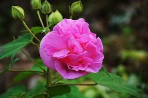 スイフヨウ / 朝白く 昼はピンクで 夕方真紅の赤ら顔…「酔芙蓉」の写真素材 [FYI01198826]