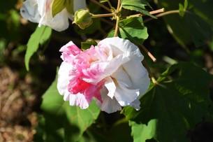 スイフヨウ / 朝白く 昼はピンクで 夕方真紅の赤ら顔…「酔芙蓉」の写真素材 [FYI01198828]
