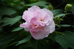 スイフヨウ / 朝白く 昼はピンクで 夕方真紅の赤ら顔…「酔芙蓉」の写真素材 [FYI01198830]